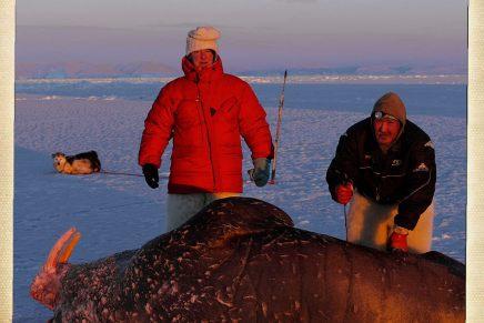 """""""Der står stadig tre-fire hundrede kilo hvalros ude ved NorthumberlandØ"""""""