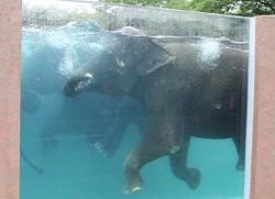 Elefanter driver den af i egen pool iJapan