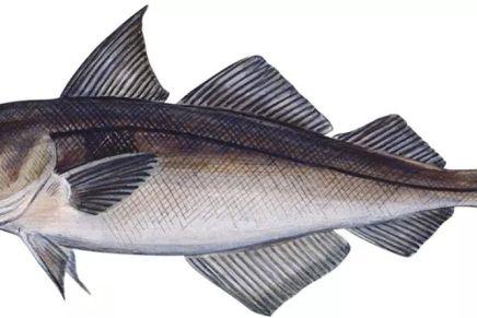 Fisk til folket